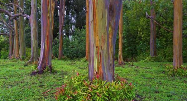 Rainbow Eucalyptus grow naturally in the islands, Philippines