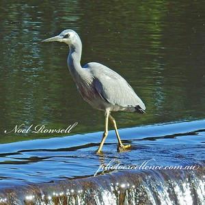 FB White-faced Heron DSCN7033