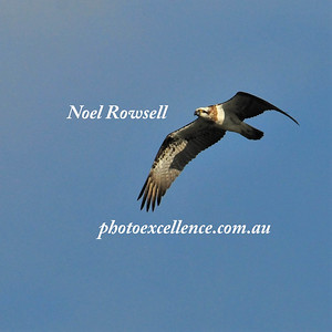 Osprey NRR_1763 PE