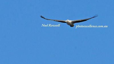Sea Eagle NRR_1593