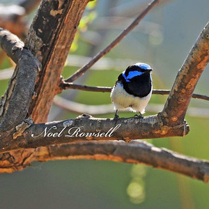 Superb Fairy Wren NRR_7083 FB