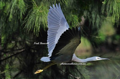 Heron NRR_0402 copy