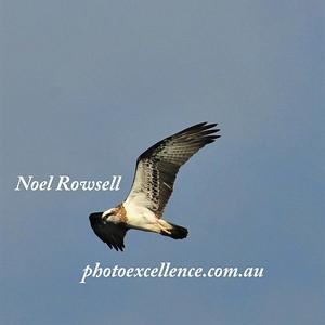 Osprey NRR_1765 PE