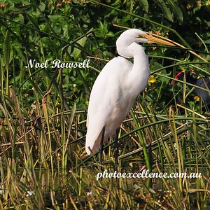 Great Egret NRR_0071