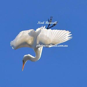 Egret Diving (Square Crop) NRR_9627