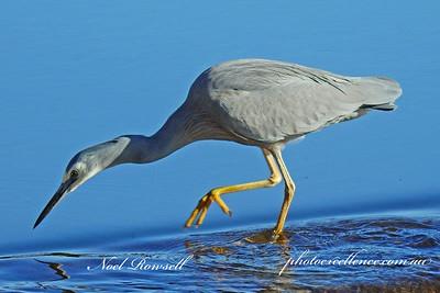 FB White-faced Heron DSCN7048