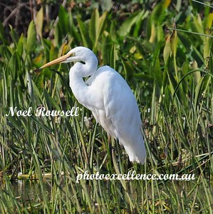 Great Egret NRR_0103