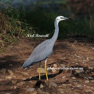Heron NRR_0063 copy