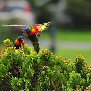 NRR_7846 Rainbow Lorikeets