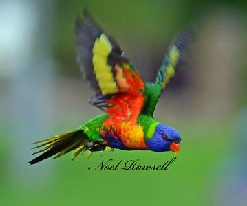 FB Rainbow Lorikeet NR5_5941