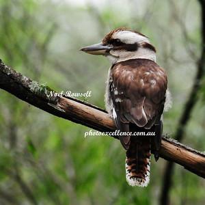 Kookaburra NRR_5720