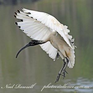 FB Australian White Ibis NR5_7128a