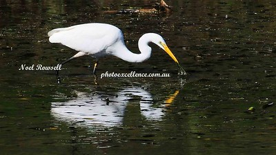 Great Egret NRR_0467 copy