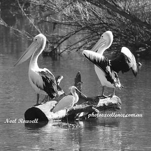 Pelicans NRR_1227 B&W