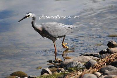 White-Faced Heron NRR_1828