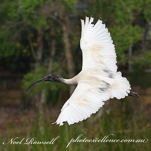 FB Australian White Ibis NR5_7125a
