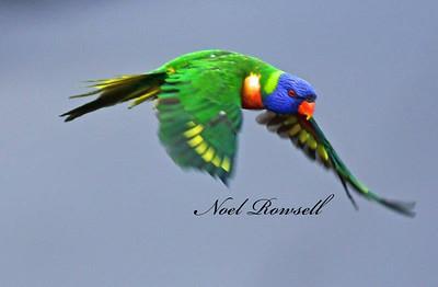FB Rainbow Lorikeet NR5_5942