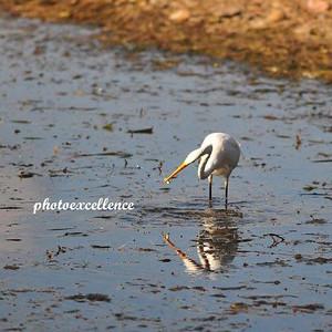 Reflection White Crane #2