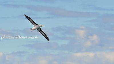 NRR_3992 Albatross