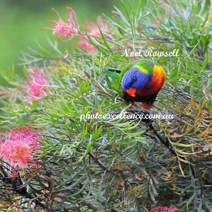 Rainbow Lorikeets NRR_5565
