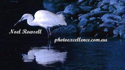 Blue Egret DSCN3526