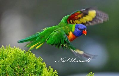 FB Rainbow Lorikeet NR5_5939
