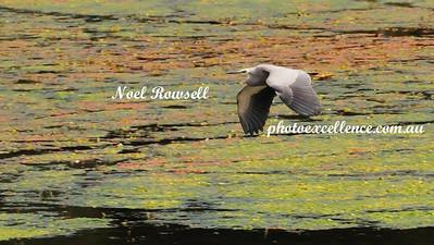 White-Faced Heron NRR_0179
