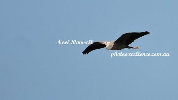 White-Necked Heron NRR_5636