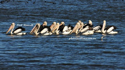 Pelicans NRR_0426 copy