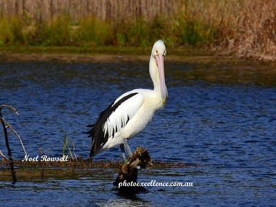 Pelican DSCN6442