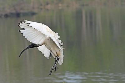 FB Australian White Ibis NR5_7128