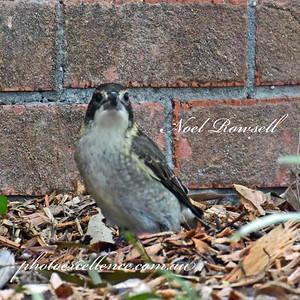 FB Butcher Bird NR5_7664