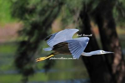 Heron NRR_0403