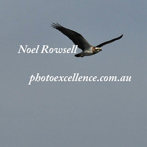 Osprey NRR_1756 PE