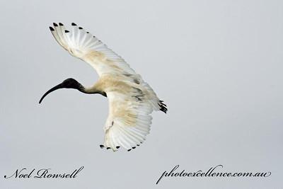 FB Australian White Ibis NR5_7112
