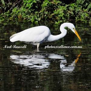 Great Egret NRR_0553 copy