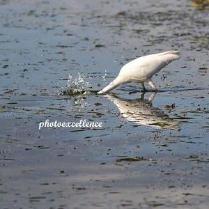 Reflection White Crane #1