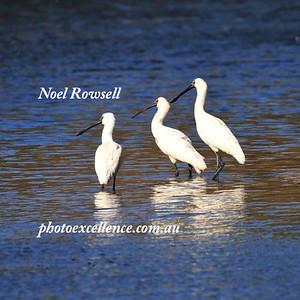 Spoonbills NRR_5253
