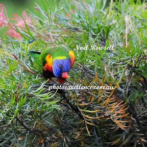 Rainbow Lorikeets NRR_5560