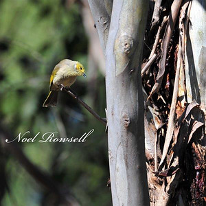White-Plumed Honeyeater NRR_7155 FB