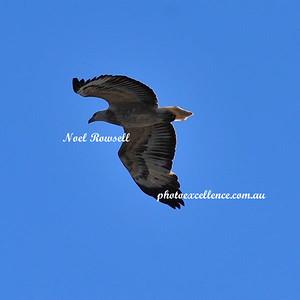 Eagle NRR_9614
