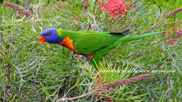 FB Rainbow Lorikeet NR5_7629