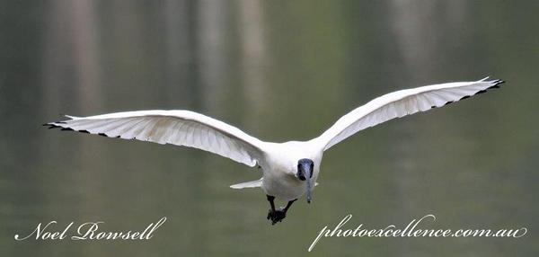 FB Australian White Ibis NR5_7145