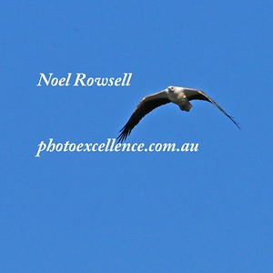 Sea Eagle NRR_1598