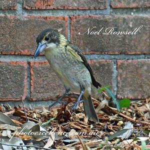 FB Butcher Bird NR5_7666