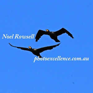 Cormorants NRR_1533