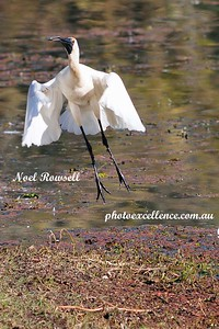 Launch of the Spoonbill NRR_1392