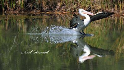 Pelican NRR_7245 FB
