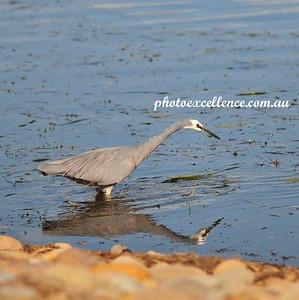 Reflection Blue Crane