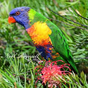 FB Rainbow Lorikeet NR5_6237